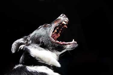 Dog angrily barking with teeth out