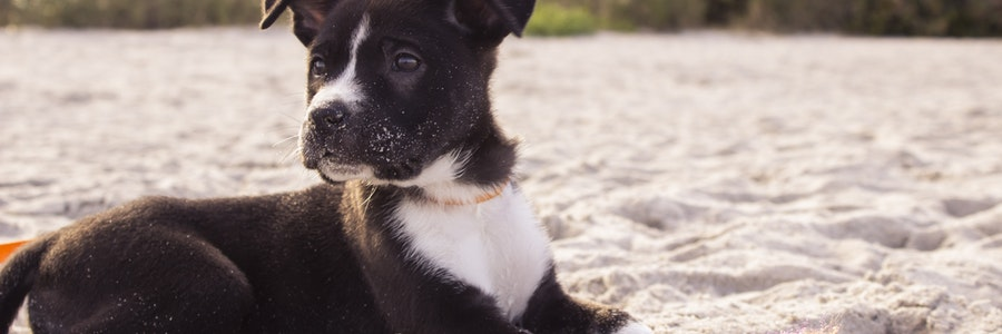 Puppy on the beach. Dog Liability Act. Contact Conte and Jaswal.