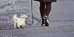 Dog on a leash on a walk with woman. What to do if your dog bites someone. Personal injury lawyer in Oshawa, Whitby, and Vaughan. Jane Conte. Conte Jaswal Lawyers.